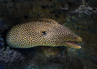 SPOTTED MORAY EEL - HAWAIIAN ISLANDS
