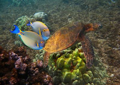 GREEN TURTLE - HAWAIIAN ISLANDS