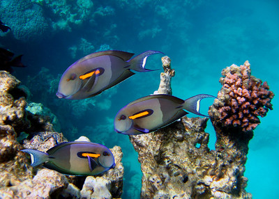 ORANGEBAR SURGEONFISH - HAWAIIAN ISLANDS