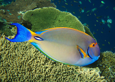 WHITESPINE SURGEONFISH - HAWAIIAN ISLANDS