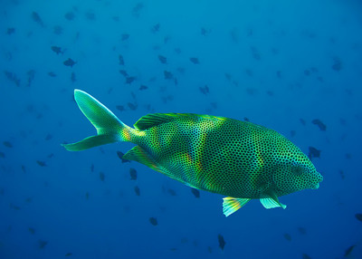 SPOTTED SWEETLIPS - GIZO