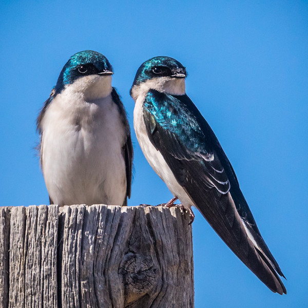 Tree Swallow; Summer Lake Oregon