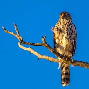 Cooper's Hawk, Bend Oregon