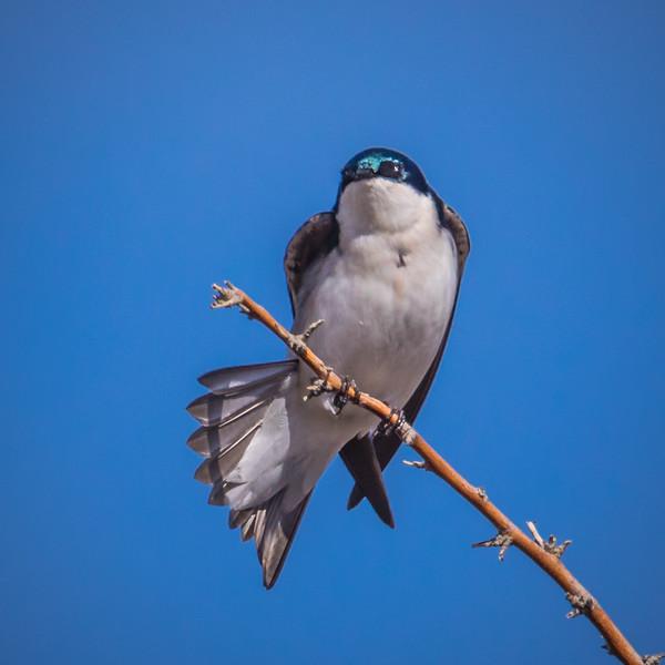 Tree Swallow, Summer Lake Oregon
