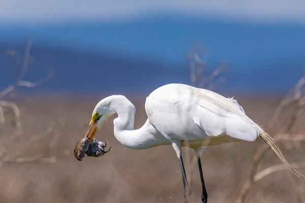 Great Egret and Pocket Gopher, Klamath Basin