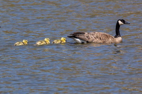 Canada Geese and Goslings, Klamath Falls Oregon
