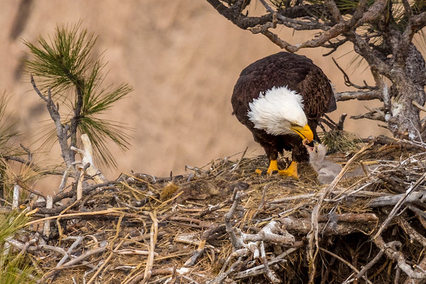 Bald Eagle and Eaglet, Central Oregon