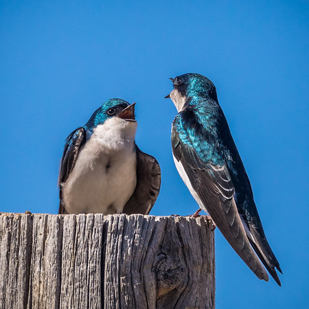 Tree Swallow, Summer Lake Oregon