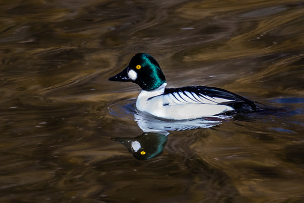 Common Goldeneye, Klamath Falls Oregon