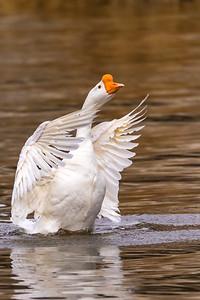 Chinese Goose, Klamath Falls Oregon