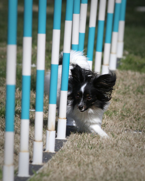 February 13th, 2011 ~ Agility Fun Run<br /> A beautiful day for Agility.  This little guy was the smallest competitor today, but he is a mighty fast little dog!