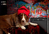 January 2nd, 2011 ~ Flint in the hood<br /> OK I was bored.  We remembered a picture that Geri Lu had taken during our Christmas Eve shoot.  I dressed Flint in his dapper adornments that day and I just loved him in the red beanie.  So today I got creative and spent a few hours processing this picture the way I picture it.  This what I came up with.