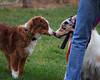 "May 7 & 8th, 2011 ~ Central Valley Australian Shepherd Agility Trial ~ ""Sunny meets Jack"""