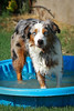 July 12th ~ Izzy cooling off in the afternoon in the doggy pool, I couldn't resist!