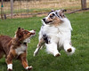 May 7 & 8th ~ CVASC Agility Trial ~ Introductions are over. . . now it is time to play!