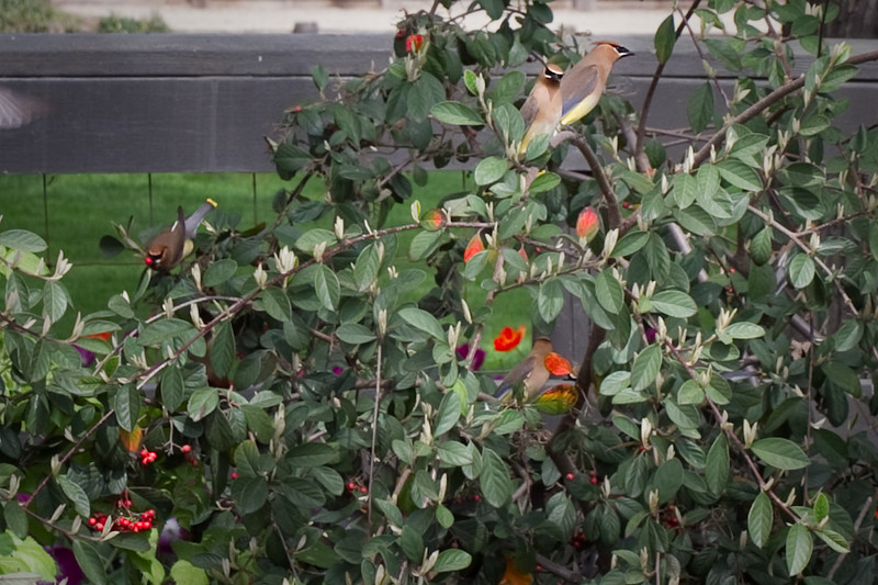 April 1 ~ Gypsy Birds<br /> I was driving along and I saw these birds sworming these bushes and sure enough they were the Gypsy Birds (Cedar Wax Wings)  They come to a spot and eat all the berries until they are gone, meanwhile getting drunk from the berries.