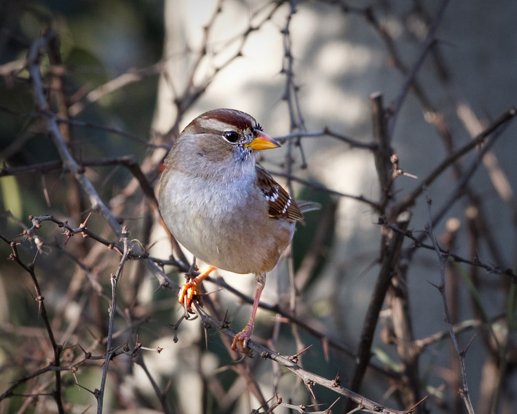 January 24th, 2011 ~ Sparrow in bush<br /> This was taken towards the end of the day when the sun is low in the sky.  My little birds just love their seed and water area.  I keep it fresh and full of seed during this time of year and they were having a field day!