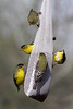 January 3, 2012 ~ Goldfinches outside my window.  I put this seed sock up some 6 months ago and NO birds even lit on it.  All of a sudden it is a hub of activity.  Beautiful little birds with a big appitite.