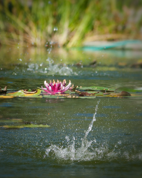 August 28th, 2010 ~ Lilly Pond<br /> Today up in Three Rivers I saw this Lilly Pond at the Historical Museum.  There were two water features spilling water into the pond.  One in front of the water flowers and one behind.  This picture is a blend of two pictures, one focused in on the front spillage of water and one that focuses on the flower itself.  Blended together you get a nice image of the water feature and the beauty of the flowers.