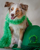 """March 17, 2010<br /> Happy Saint Patrick's Day to all and a Happy Birthday to my husband Patrick and my niece Amelia...<br /> More of Tiki's St. Patty's Day photo shoot  <a href=""""http://paws4camera.smugmug.com/My-Dogs/Holidays/11538987_ViTCu#812558363_jCwjP"""">http://paws4camera.smugmug.com/My-Dogs/Holidays/11538987_ViTCu#812558363_jCwjP</a>"""