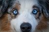 """I tried my hand at some close ups today.  I was grooming the boys and took my camera with me.<br /> This is Rio, he has the most beautiful blue eyes. I took a few more close shot of Rio and a couple other boys  <a href=""""http://paws4camera.smugmug.com/My-Dogs/Closeups/11137042_rExo5#780447787_FbvGp"""">http://paws4camera.smugmug.com/My-Dogs/Closeups/11137042_rExo5#780447787_FbvGp</a> February 3, 2010"""