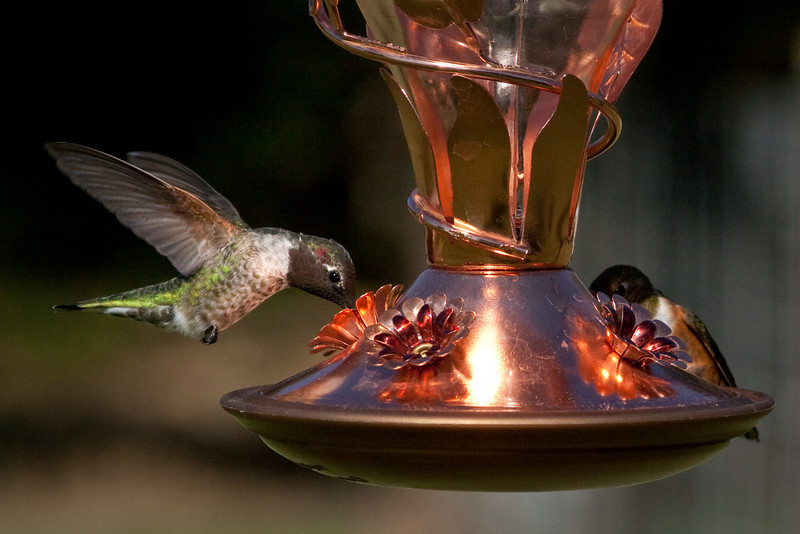 """September 1, 2010 ~ Hummers<br /> OK Geri Lu has me hooked on Hummers and she has soooo many.  I sat in her yard today and took over 200 pictures in a matter of moments.  I have started a gallery of these little guys <a href=""""http://paws4camera.smugmug.com/gallery/13597899_vPje6#991914122_uSXhX"""">http://paws4camera.smugmug.com/gallery/13597899_vPje6#991914122_uSXhX</a>"""