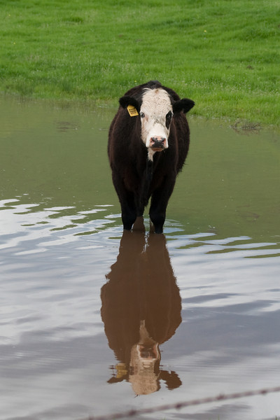 February 26, 2010<br /> A clear day, and I was off to Yokohl Valley to see if any wildflowers were peeking out.  Yokohl Valley is minutes from my home and it is always a wonderful place to drive through.  Today I saw these cows strolling through this pond, knee deep in water.  The reflection on this bright yet cloudy day was amazing.  These cows were friendly and didn't run when I came up to the fence.  I am sure they thought I was bringing them some kind of treat.