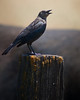 May 15, 2010 ~ Bird on a Post<br /> One of those country drives I saw this bird on a post so I snapped a couple shots.  It's a black bird with a large black bull behind him, so getting him to show up was a bit of a challenge.  Also I did some creative photoshop editing because when I looked at the picture it was evident that this bird either sits on this post alot, or he had a rather large poo just minutes before the picture was taken. :)