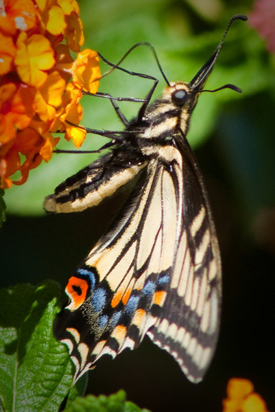 August 17, 2010 ~ Another close up of these amazing butterflies.