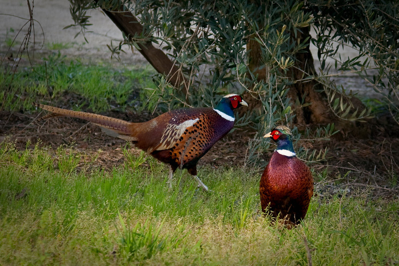 "February 16, 2010<br /> I love where I live.  Coming from the Big city Los Angeles I couldn't even imagine this happening to me.<br /> Outside my window today sat this beautiful pair of Ring Neck Pheasants.  I never knew they were so beautiful before today when they wandered through my Olive Orchard.  I caught this pair stealing water out of the irregation drips right outside my window.  Beautiful birds, Oh so lucky me.<br /> You can follow this link to see a few more pictures of these beautiful birds. <a href=""http://paws4camera.smugmug.com/Animals/Birds/Animals/10888271_bHhCv#790569624_kymN4"">http://paws4camera.smugmug.com/Animals/Birds/Animals/10888271_bHhCv#790569624_kymN4</a>"