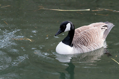 © Marta 25-04-2010 Canada goose  local pond