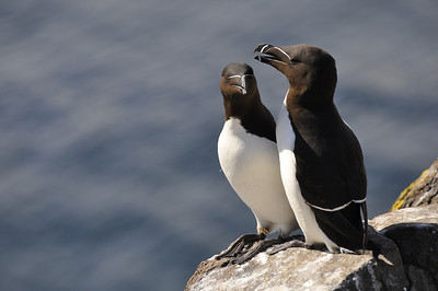 © Felipe 03-05-2010   Razorbills Isle of May