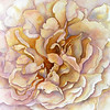 White Rose<br /> watercolour<br /> <br /> For Sale- Call the gallery- 902-863-5407