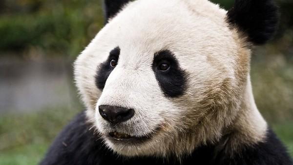 A panda at the Wolong Panda Reserve in Chengdu, China