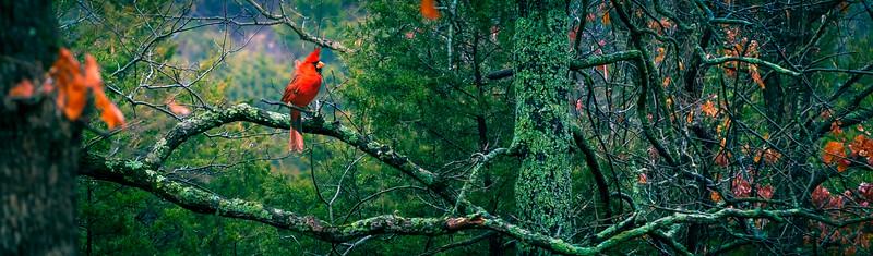 Cardinal Perch