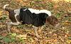 Tory (puppy, skunk)_00001