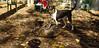 toby (pup), brindle pitbull_001