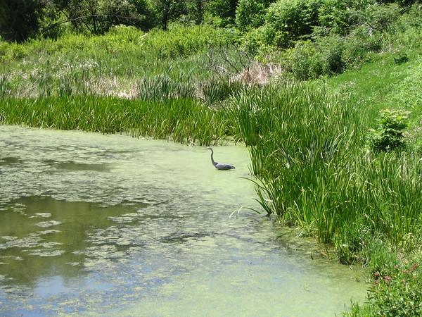Crane at Mt. Pisgah State Park, Bradford County, Pennsylvania