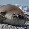 Pat-Sea Lion*