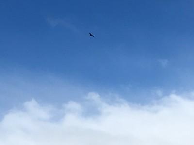 Condor above El Chalten