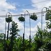 Plantaciones de banano en Curbarado