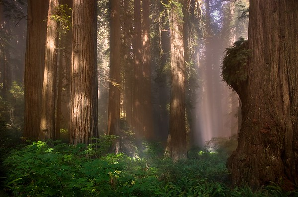 OLD GROWTH IN THE COASTAL REDWOODS
