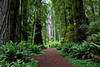 ALONE IN THE REDWOODS (REDWOOD PATH)