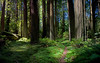 ANCIENT REDWOOD FOREST