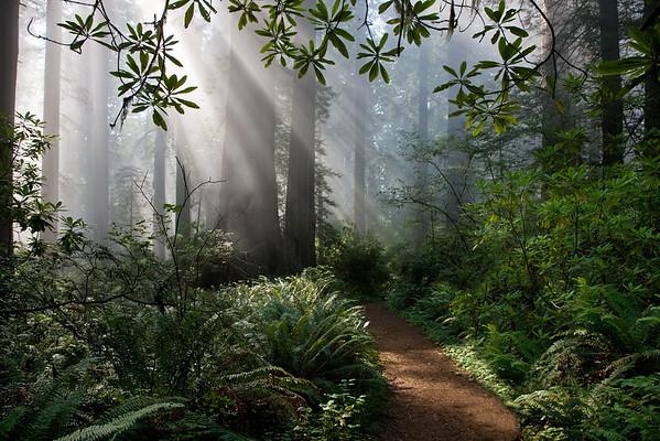 Western Redwoods