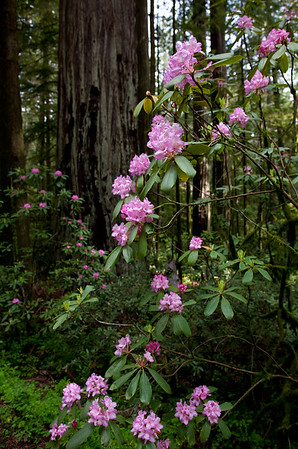 SPRING ARRIVES IN THE REDWOODS
