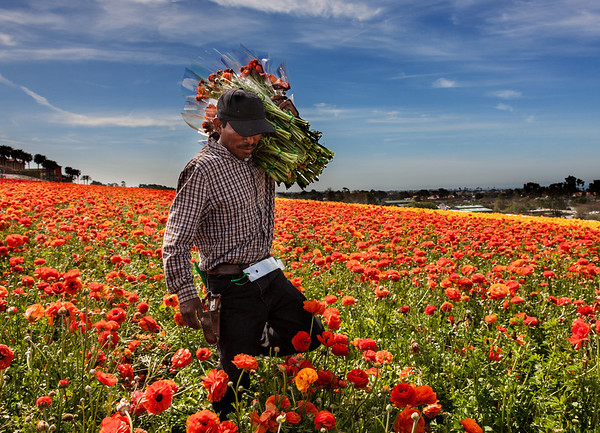 CARLSBAD FLOWER FIELDS I