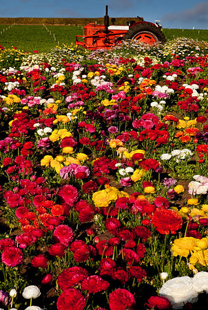 CARLSBAD FLOWER FIELDS VII