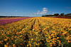CARLSBAD FLOWER FIELDS IV