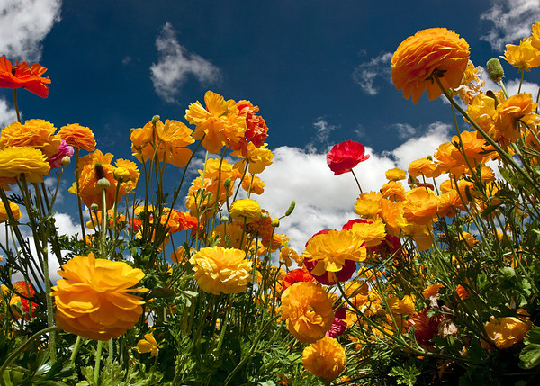 CARLSBAD FLOWER FIELDS X